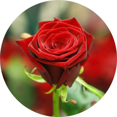 slike ruža za rođendan Jestiva slika, Ruža   Sve i svašta slike ruža za rođendan